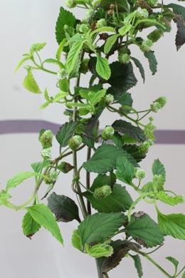 Aztekisches Süßkraut (Lippia dulcis)