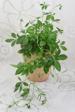 Gynostemma pentaphyllum
