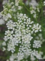 Kümmel-Blüten