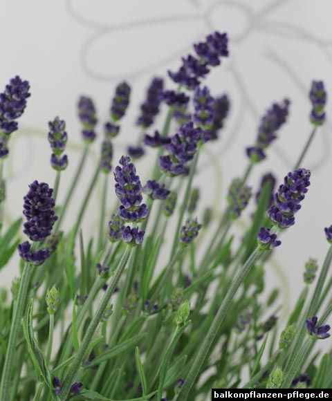 pflanzen in nanopics echte lavendel lavandula angustifolia. Black Bedroom Furniture Sets. Home Design Ideas