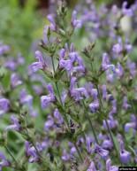 Salbei-Blüten