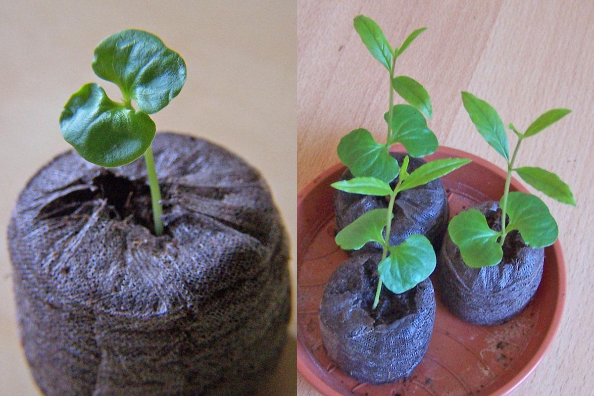 Granatapfel Sämlinge