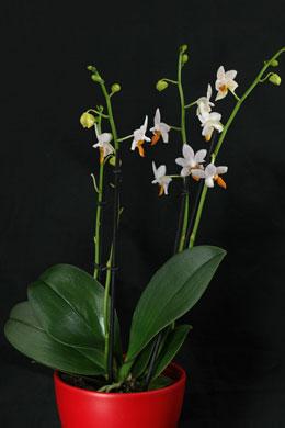 phalaenopsis mini mark pflege. Black Bedroom Furniture Sets. Home Design Ideas