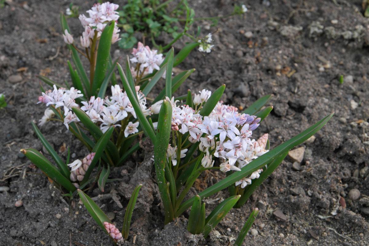 Scilla bifolia Rosea