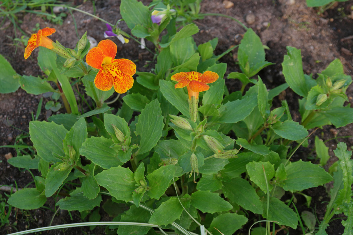 Mimulus cupreus Orange Glow