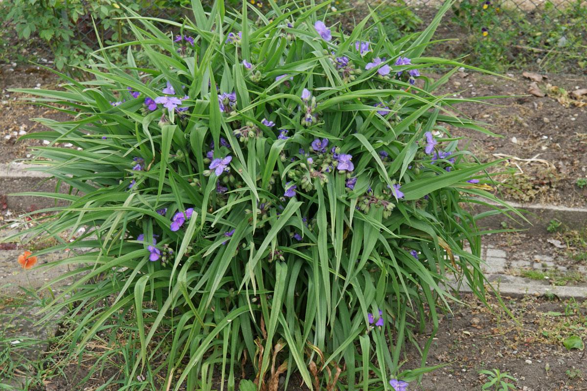 dreimasterblume, tradeskantie (tradescantia × andersoniana), Garten seite