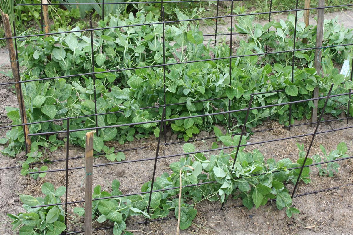 Erbsenpflanzen