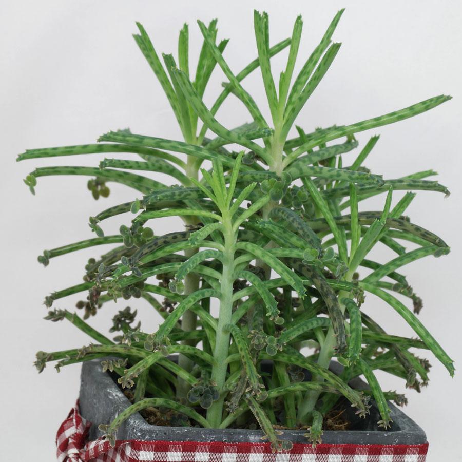 Kalanchoedelagoensis