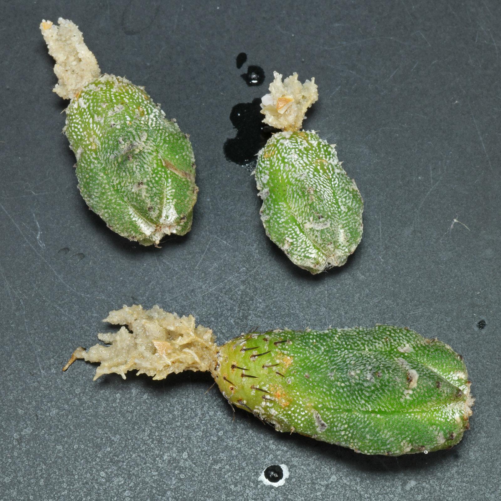 Astrophytum myriostigma Huboki Stecklinge