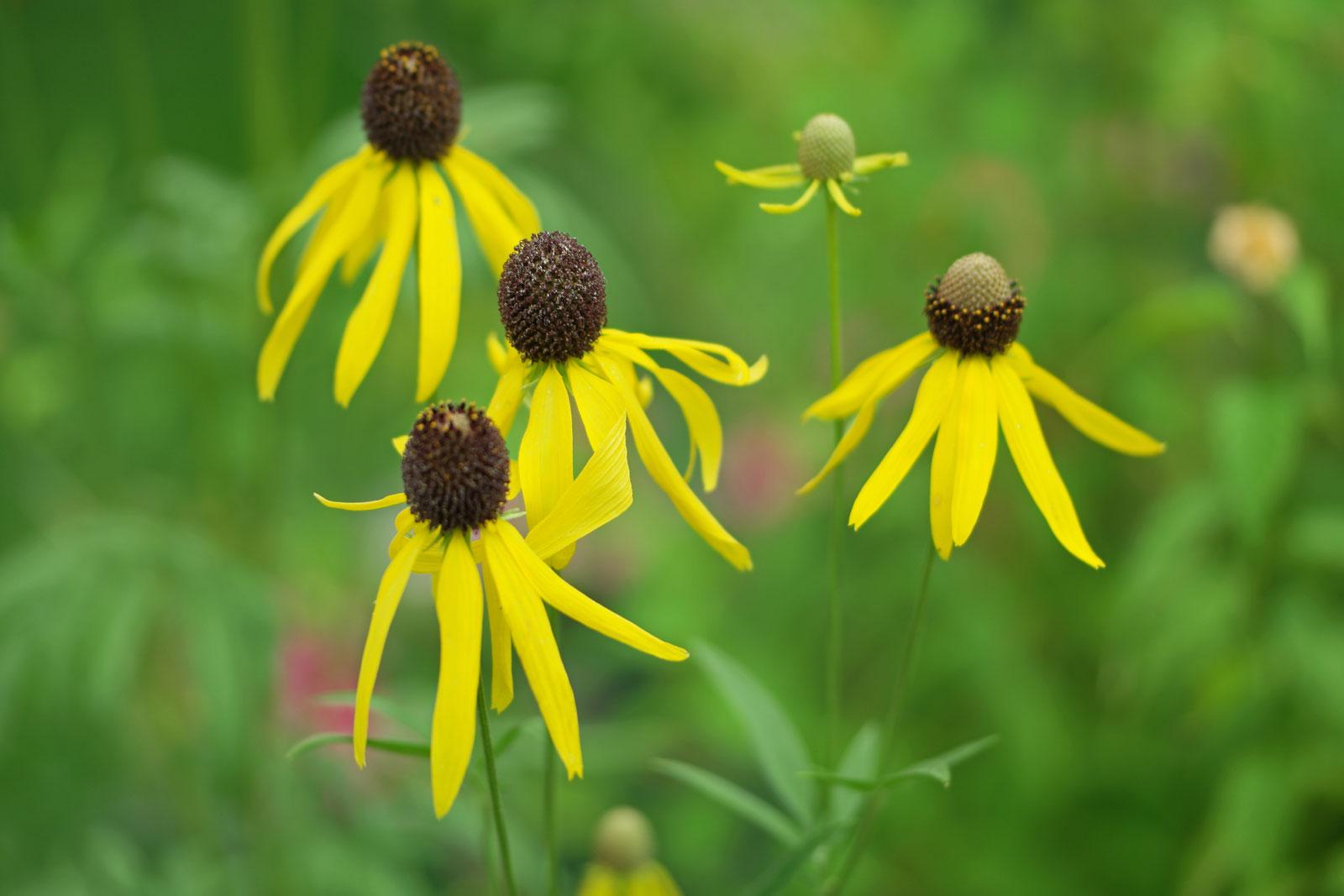 Präriezapfenblume