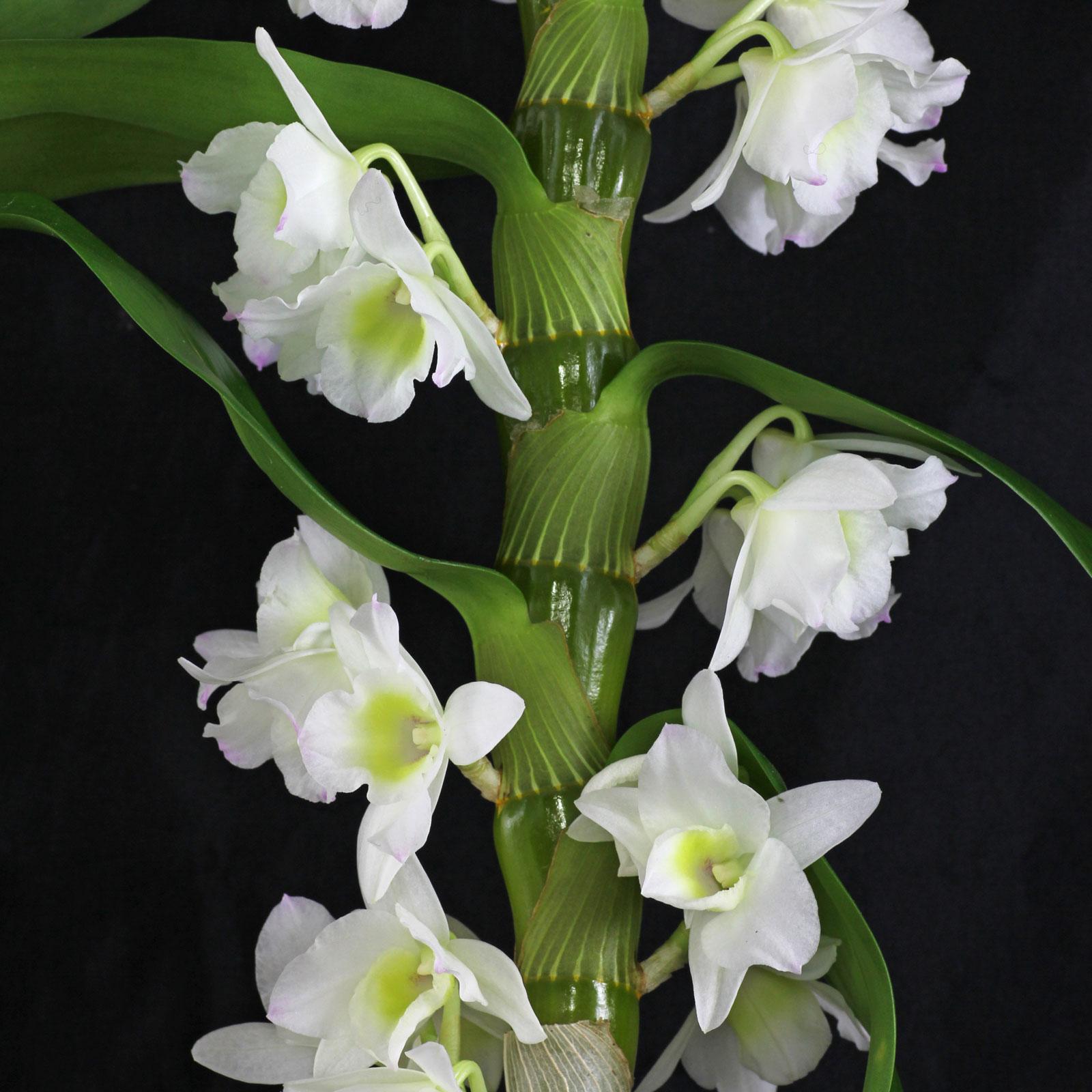 Orchideen in blumenerde pflanzen dendrobium orchidee altavistaventures Images