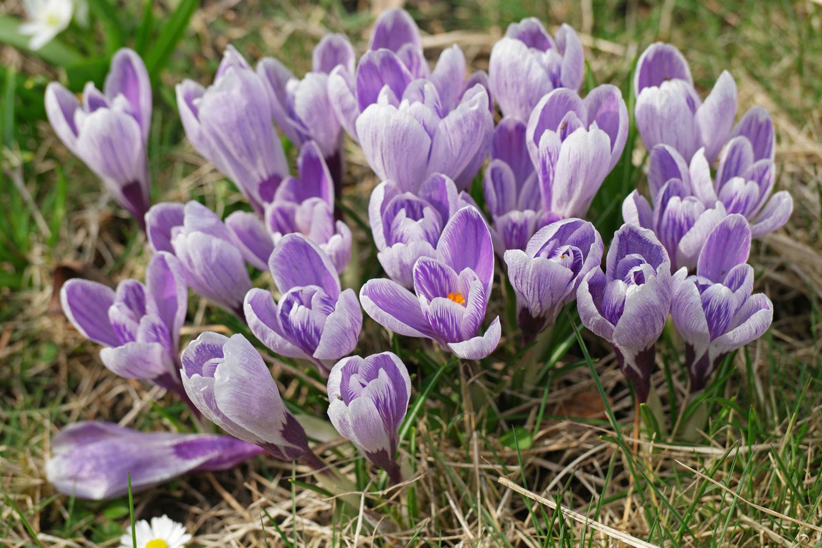 Frühlings-Krokus