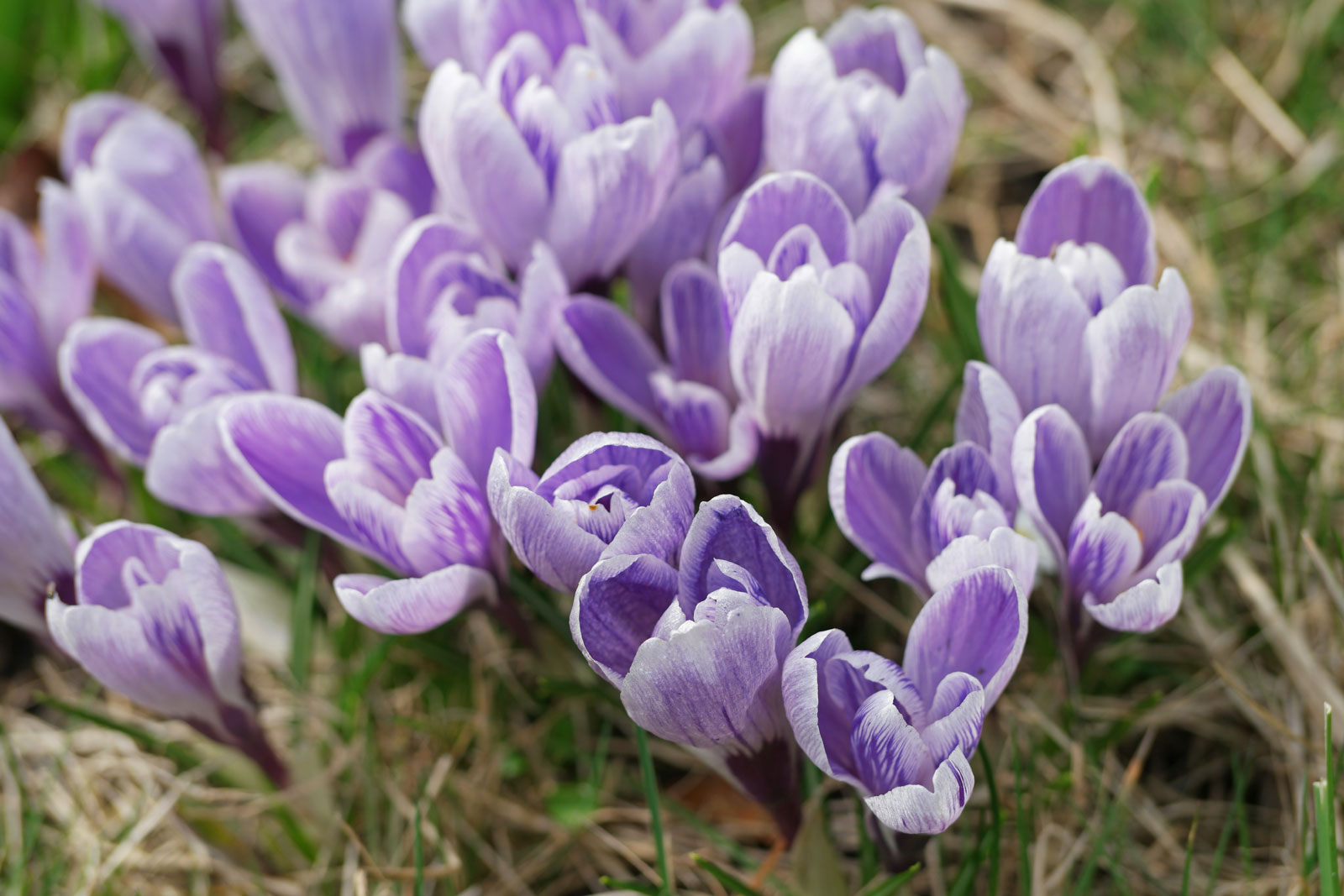 Frühlings-Safran