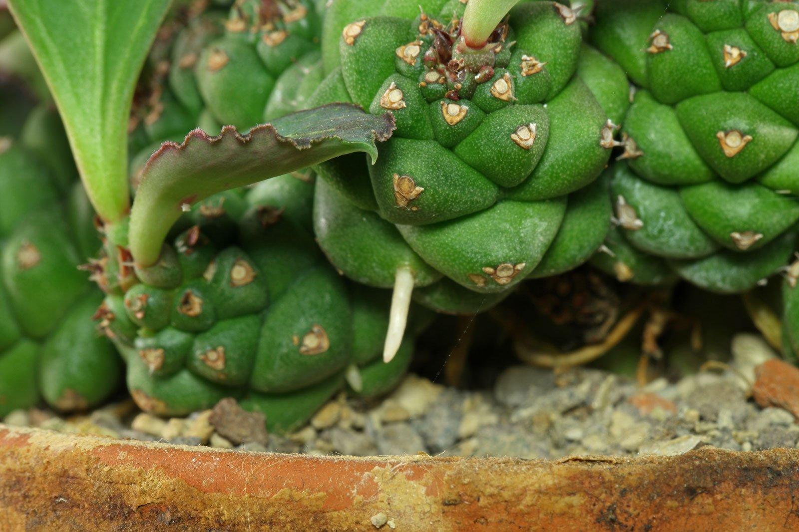 Euphorbia ritchiei Wurzel