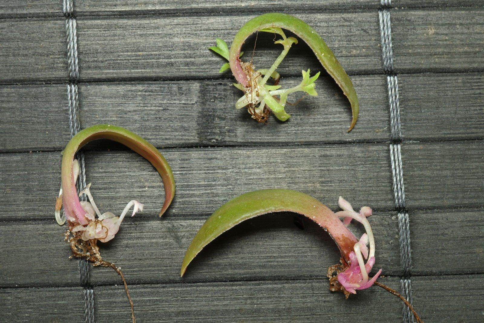Crassula orbicularis Blattstecklinge