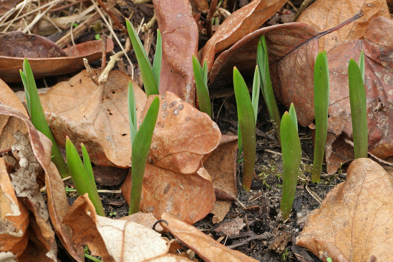 Weinberg-Tulpe im Januar