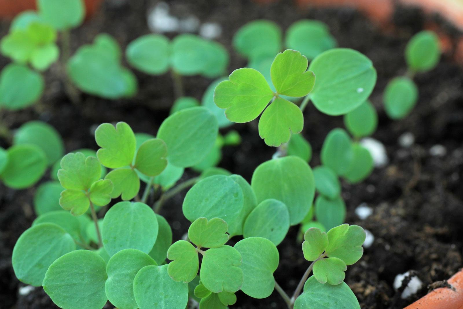 Akelei-Jungpflanzen