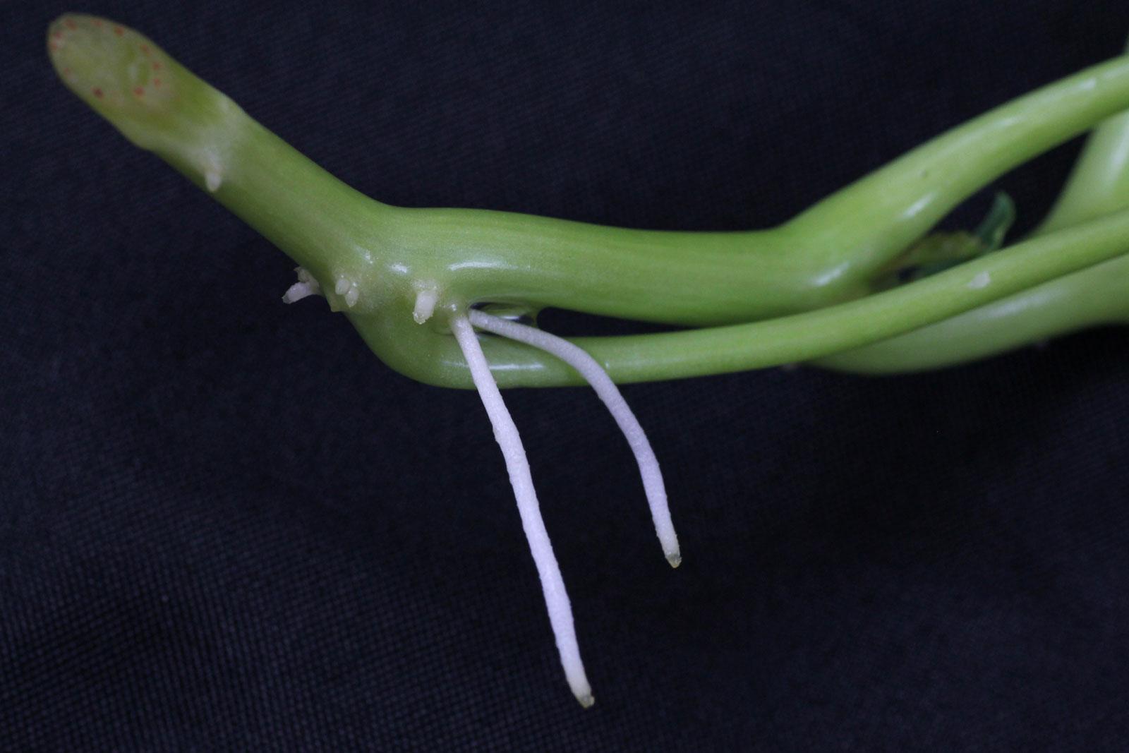 Kapuzinerkresse Steckling