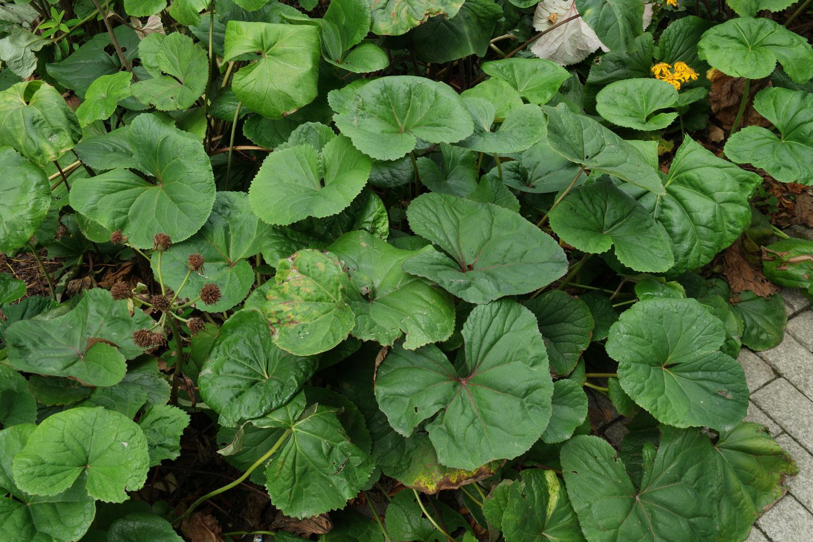 Goldkolben Blätter