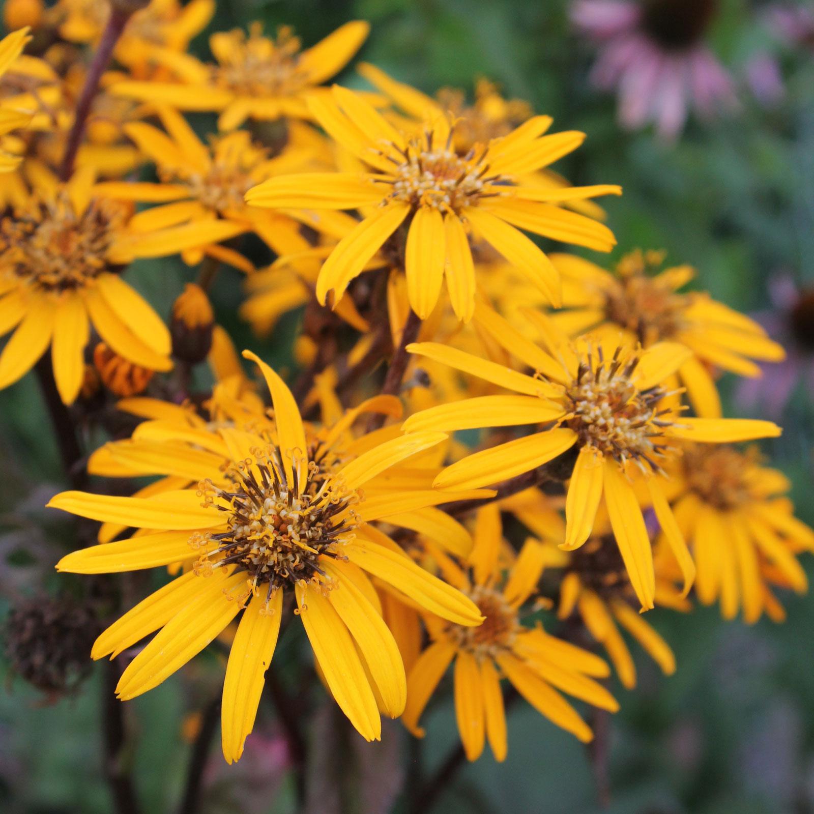 Goldkolben Blüten
