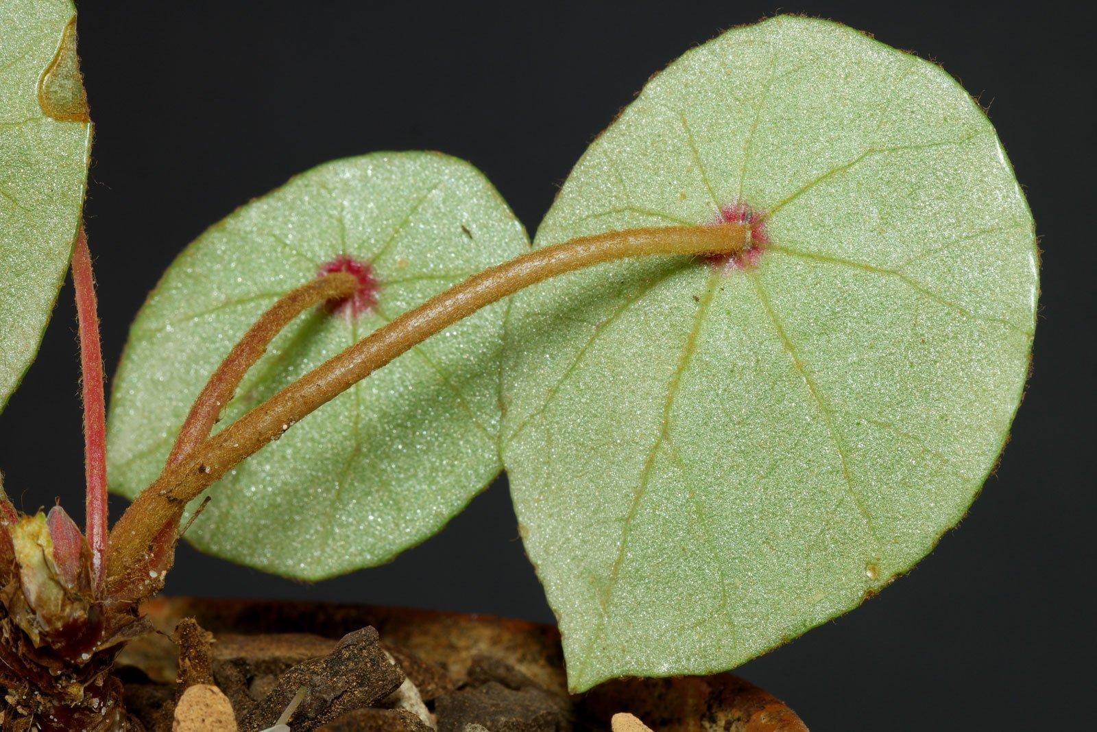 Begonia conchifolia Blätter