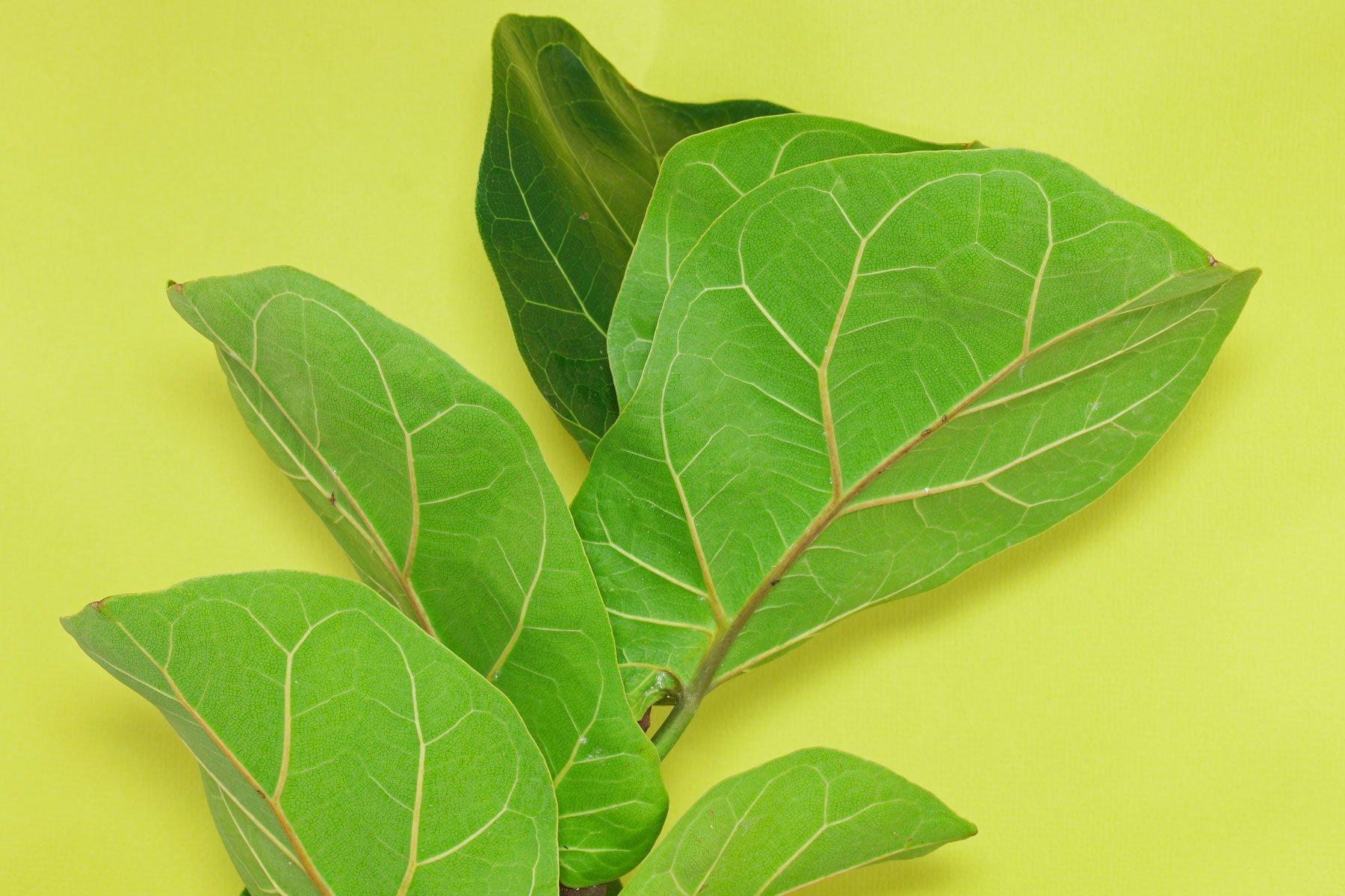 Geigenfeige Blätter