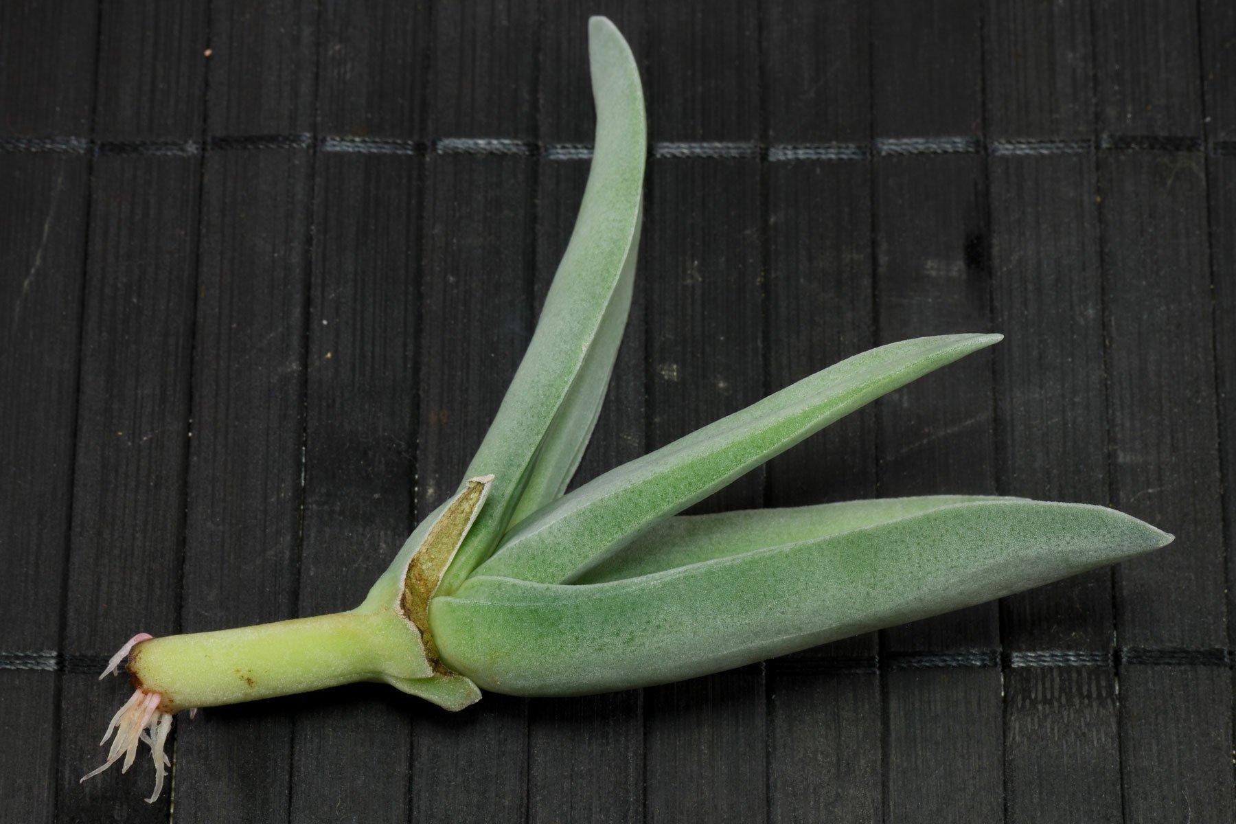 Propellerpflanze Steckling