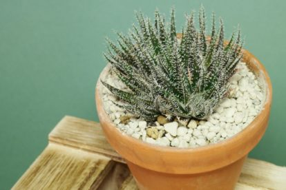Aloe haworthioides